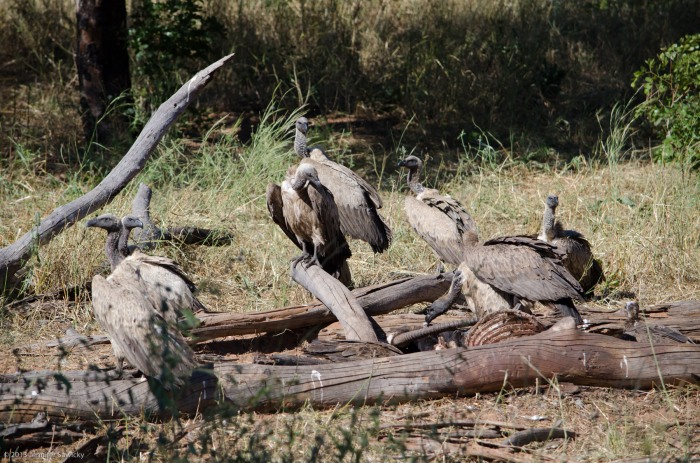 Vultures on Wild Dog kill (1 of 1)