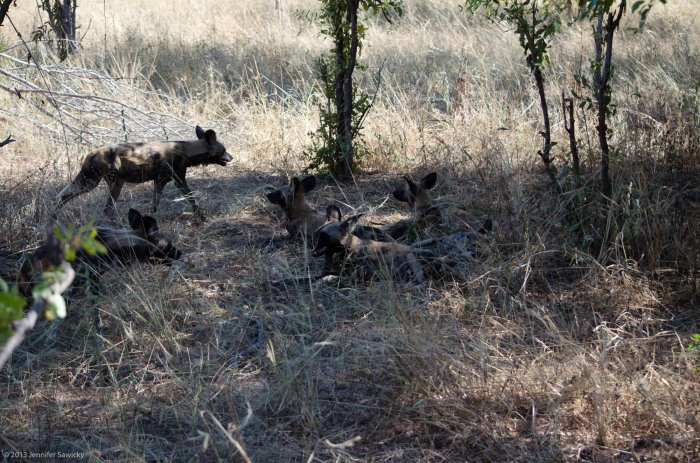 African Wild Dogs April 2013