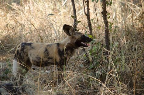 African Wild Dog, April 2013