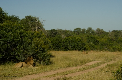 During our transport to Nelsruit Airport, we spotted these lions just as we exited Londolozi's property.  I love that the male is watching the female stalk the impala.  Waiting for someone to get him some lunch! 1/400sec, f11, ISO200, 68mm