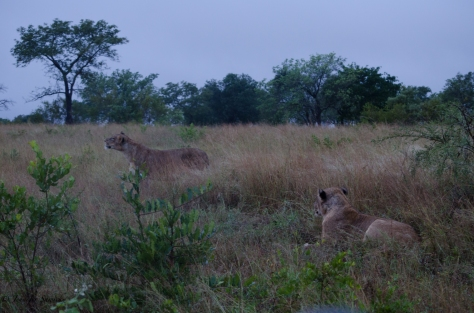 Two Lionesses, April 2013