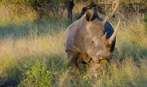 Rhino Grazing, April 2013