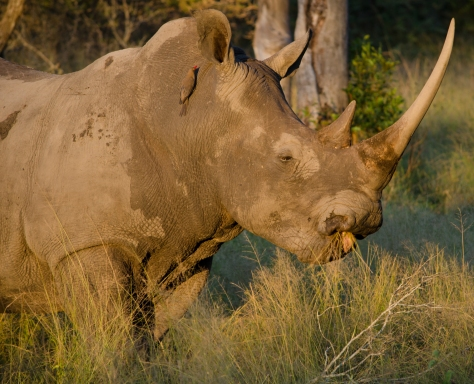 Rhino and Oxpecker, April 2013