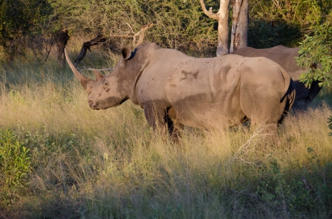 Rhino at Londolozi, April 2013