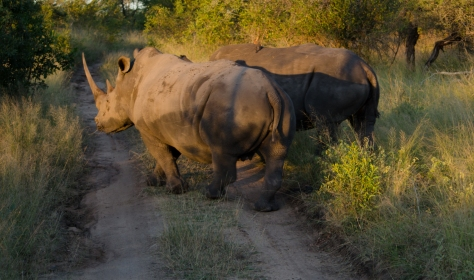 Heading off for a new patch of grass.  Rhinos at Londolozi, April 2013