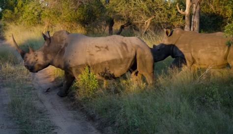Rhinos, April 2013