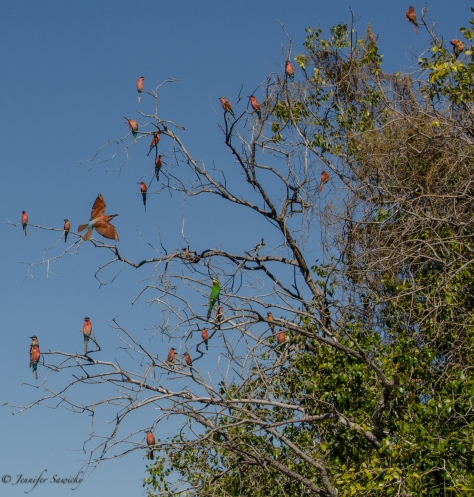 A group of bee-eaters along the Chobe River in Botswana, April 2013