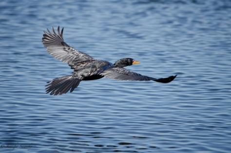 Cormorant in flight over the Chobe River in Botswana, April 2013
