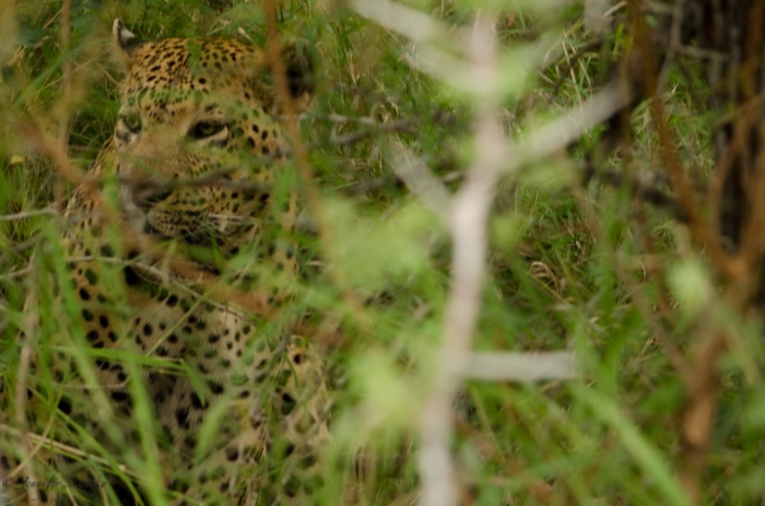 The photo opportunities were slim based on how the vehicle had to park, and how deep under the bushes the leopard was.  Thankfully, the light was decent (unlike when we saw the lion cubs!) so I managed a few obstructed shots.