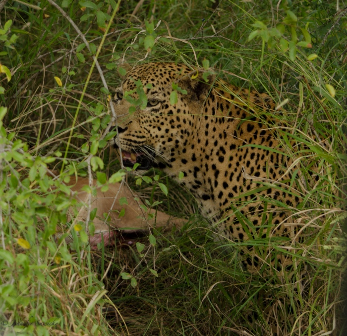 The Camp Pan male leopard with an impala ram, April 4, 2013 at Londolozi.