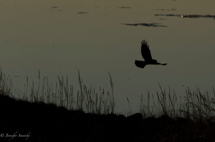 I see a Cooper's Hawk on nearly every weekend walk I take out at the dikes, and still they catch me by surprise most times.  I was glad I had the camera set to capture it in flight.  The setting sun is glimmering off of some of the ice floating in the river.  1/1250, f5.6, ISO100.