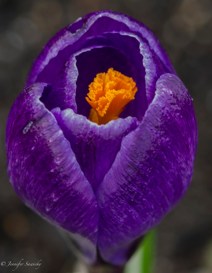 I love the vivid colours of the crocus; they are a vibrant sign in the midst of awful weather that spring, and brighter days, are coming.