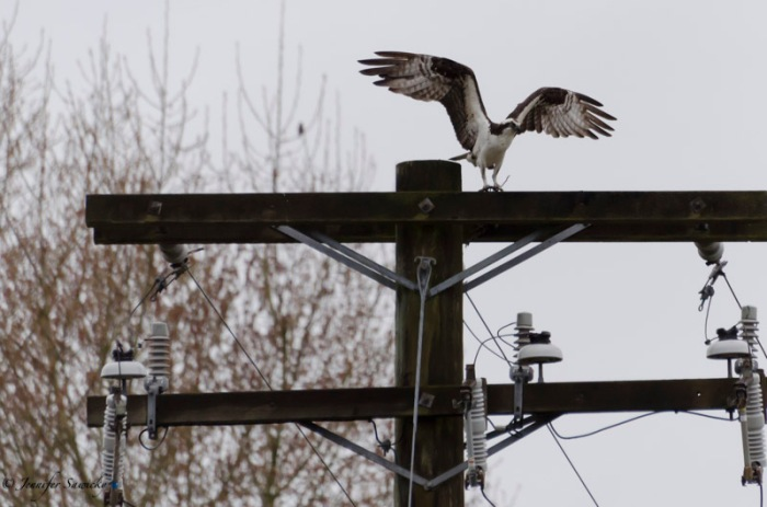 After gathering up a smaller clump of branches, the hawk landed on the top of a power pole. 1/500sec, f5.6, ISO1100