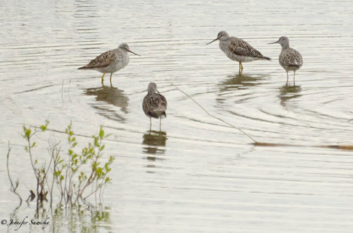 I'm not sure what type of sandpiper these are.  They were in a small pond next to the dike - these were a first for me :)  Not a stunning photo, but just great to see something new.