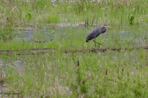 A great blue heron on the move.... well, the right leg at least. 1/400sec, f5.6, ISO1000