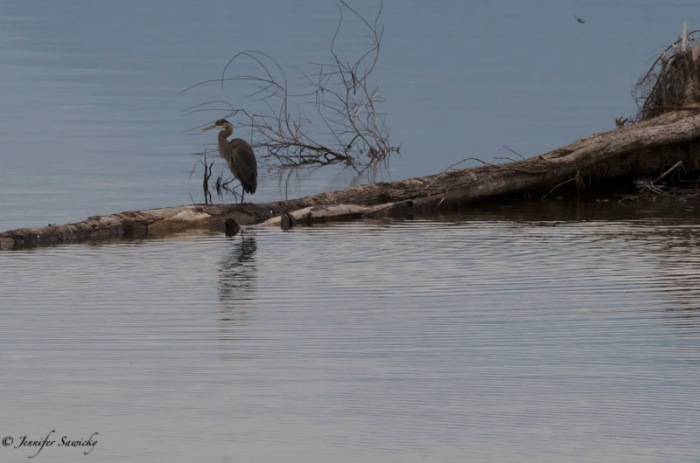 The beautiful curve of the heron's neck is mimicked in the branches reflecting in the water by the heron's legs. 1/500sec, f13, ISO 1000