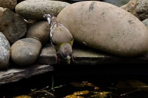 A female evening grosbeak leaning in for a drink at my parent's backyard pond. 1/400sec, f5.6, ISO400