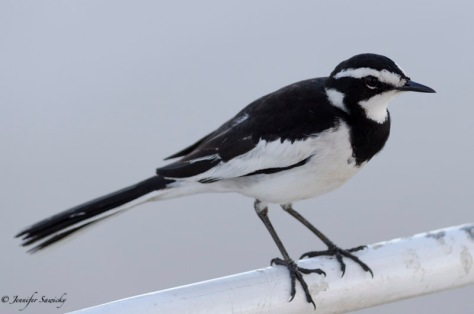 This African Pied Wagtail most have gotten tired of flying, as it caught a ride on our boat during our river cruise along the Chobe. 1/1000sec, f4.8, ISO640