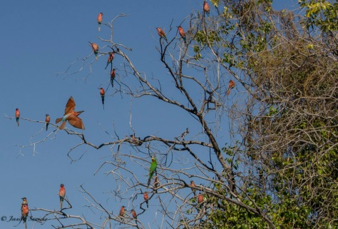 Beautiful Bee-eaters seen on a river cruise along the Chobe River. 1/200sec, f8.0, ISO360