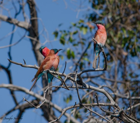 A group of Carmine Bee-eaters along the Chobe River. 1/800sec, f5.3, ISO100