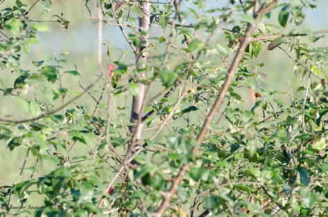 I included this not because it is a great picture (clearly, it isn't).  When reviewing it though, it reminded me a bit of those old Where's Waldo books.  There is a yellowthroat in this picture... somewhere :)