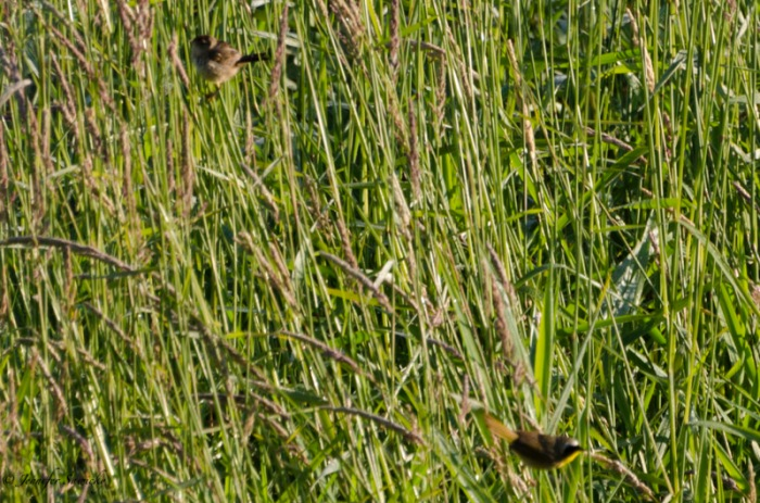 A common yellowthroat (bottom right)  in the long grasses that line the river.  I am not certain what type of bird is top left. 1/250 sec, f5.6, ISO 100