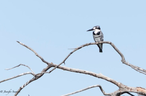 Decent photos of kingfishers elude me to this day!  This is as good as it gets, so far. An African Pied Kingfisher along the Chobe River. 1/400sec, f5.3, ISO100