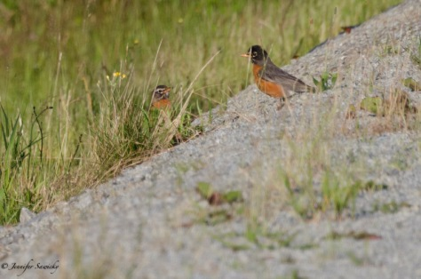 A pair of American Robins searching for some breakfast.  Hearing them sing while I am taking my morning walk always makes me smile. 1/2000sec, f5.6, ISO400