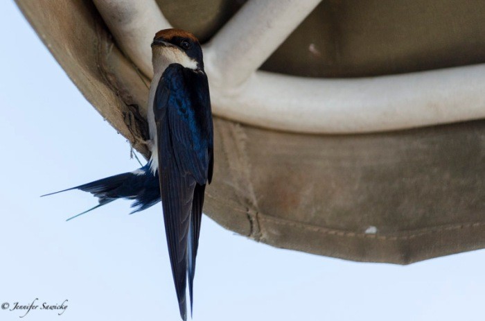 Along tag along on our river cruise!  This wire tailed swallow had built a nest somewhere on the boat itself. 1/1000sec, f4.8, ISO800