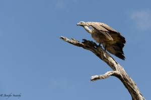 A hooded vulture getting ready to lift off. 1/800sec, f5.6, ISO200