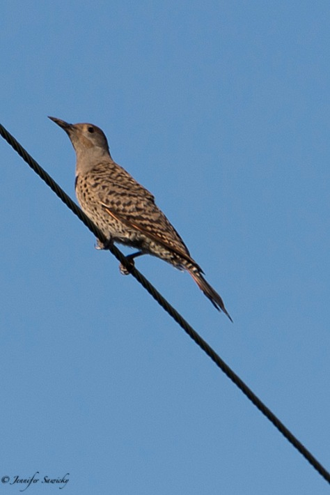 This juvenile northern flicker stayed on the power line for what seemed to be a remarkably long time given how close I was (they always seem very skittish), but it spent most of the time looking in the opposite direction of me and my camera. This one hasn't yet developed the distinct red streaks along the cheek. The previous week I saw 7 flickers at one time; how I wish I would have had my camera along for that! 1/500sec, f6.3, ISO100