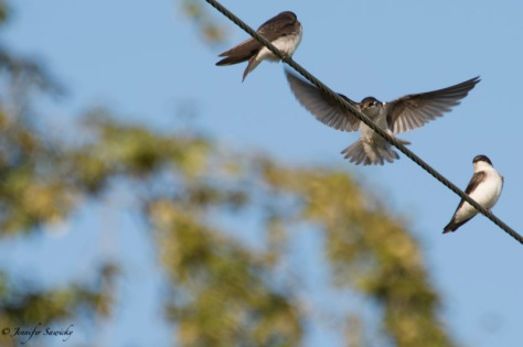 A northern rough-winged swallow comes into land on a power line, under the watchful gaze of a friend. 1/250 sec, f6.3, ISO100