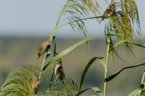 A group of weavers alongside the Zambezi River.  One of them looks like it's trying to climb the grass, rather than fly to a new spot! 1/4000sec, f5.6, ISO400