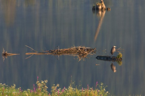A great blue heron perches on one leg atop a submerged log in the Pitt River. 1/800sec, f5.6, ISO900