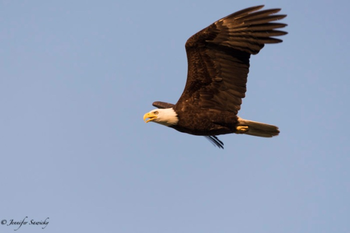 I did not crop this photo; the eagle really was this close.  I had my lens at the maximum reach of 300mm, but I am still quite shocked just how close the eagle passed in front of us.  I'm very grateful I keep Spencer on a short leash at all times, because I imagine to an eagle he looks like breakfast. 1/1000sec, f6.3, ISO560