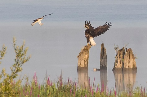 Bald Eagle vs Osprey-7