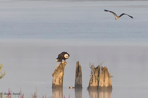 Bald Eagle vs Osprey-8