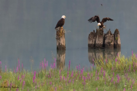 A bald eagle works on loosening some twigs and debris from a post while her partner looks on. 1/640, f5.6, ISO1400