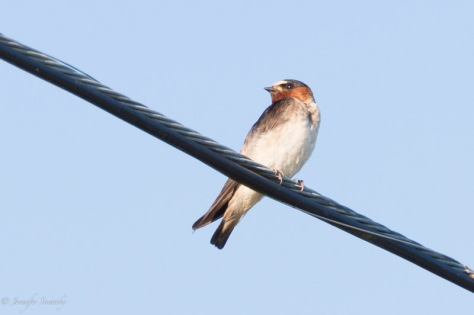 I've been lucky enough to capture some decent photos of both the northern rough winged swallow, and this cliff swallow.  I've definitely seen some barn swallows in the mix as well, but I haven't managed to get any photos of them yet. 1/1000sec, f5.6, ISO640.