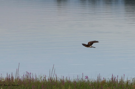 A cooper's hawk flies along the Pitt River looking for prey. 1/500sec, f8.0, ISO200
