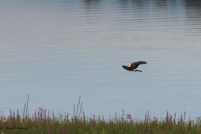 A cooper's hawk flies along the Pitt River looking for prey. 1/500sec, f8.0, ISO200