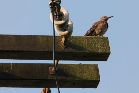 A northern flicker looks off to the distance, from high on top of an electrical pole. 1/100sec, f5.6, ISO400