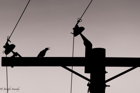 A northern flicker cries out from the top of an electrical pole in the early morning light. 1/2000sec, f7.1, ISO400