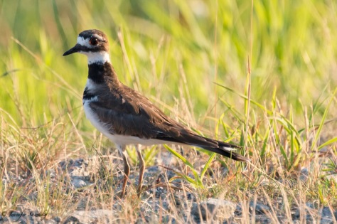 While I snapped photos, the Killdeer hoped around and kept extending its neck up and down, reminding me of the movements that a pigeon makes.