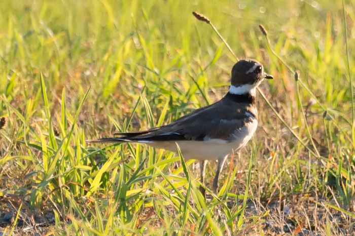 I am glad that I saw the Killdeer on the ground rather than flying, as it was easy to see (and capture) all the beautiful markings.  And it made it quite easy to identify in my bird book.