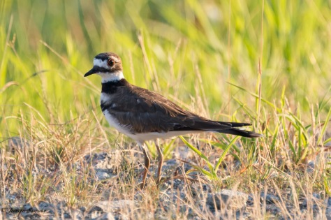 I found this Killdeer wile out for a walk on Sunday morning.  I was actually walking rather slowly while trying to take a shot of a heron, and noticed this little guy hopping around on the ground after the heron flew off.  I am a bit surprised how close I was able to get to him (or her). 1/1000sec, f5.6 ISO1400