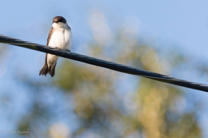 A northern rough winged swallow. 1/1000sec, f5.6, ISO640