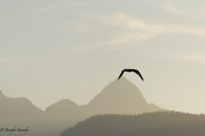An osprey heads out over the Pitt River on a hazy summer morning. 1/1000sec, f5.6, ISO100