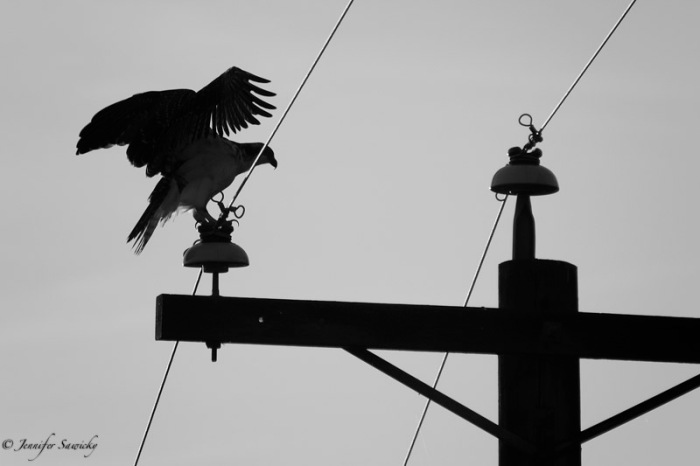 An osprey coming into land atop an electrical pole. 1/1000sec, f5.6, ISO140