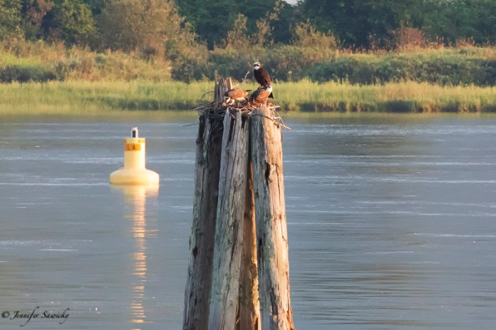 A mother osprey with two (very large) chicks on a post in the Pitt River.  The chicks called out constantly whenever the mother flew away.  The small stretch of river I walk along regularly has been quite an osprey nursery, with several active nests. 1/1000sec, f10, ISO4500